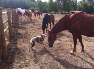 nali horses